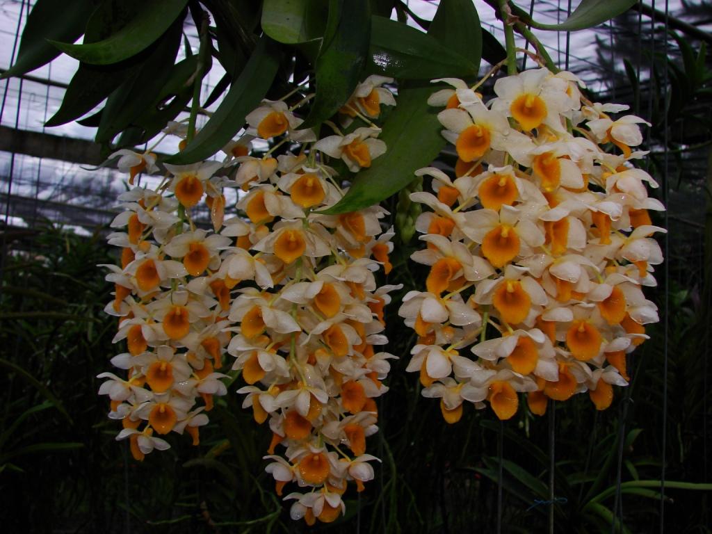 Dendrobium thyrsiflorum33