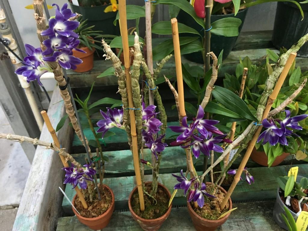 Dendrobium victoria-reginae86