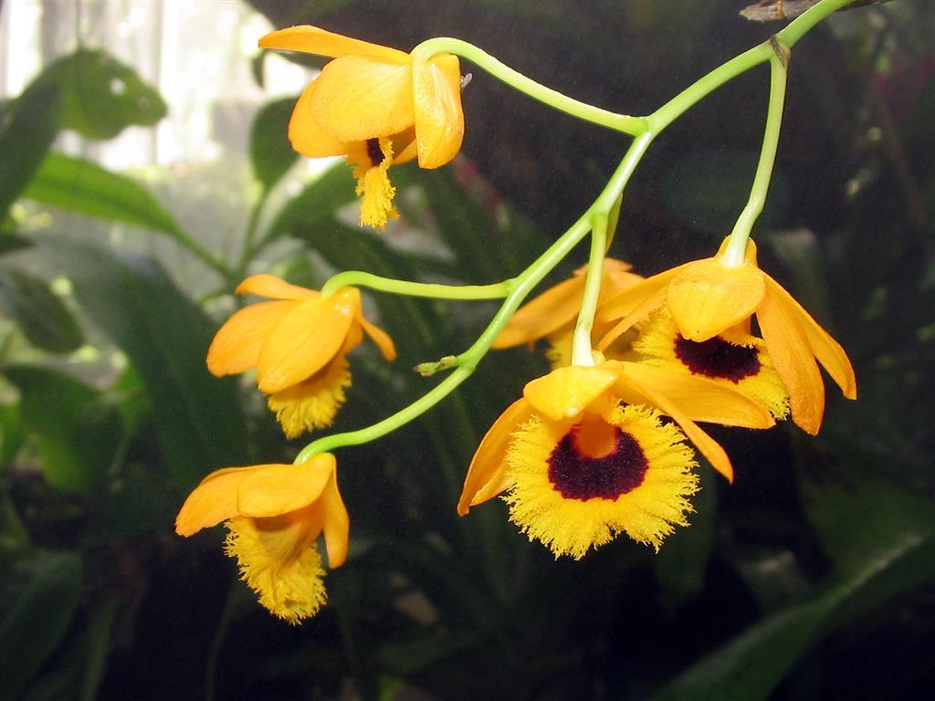 Dendrobium_fimbriatum