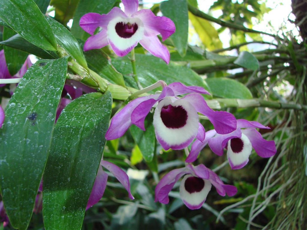 Dendrobium_nobile