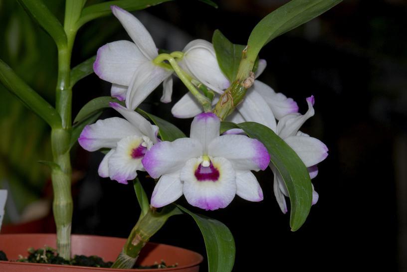 Dendrobiumnobile