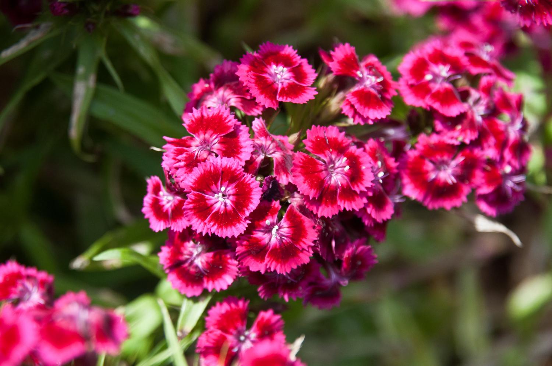 Dianthus-barbatus-5