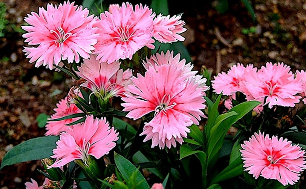 Dianthus-chinensis-2
