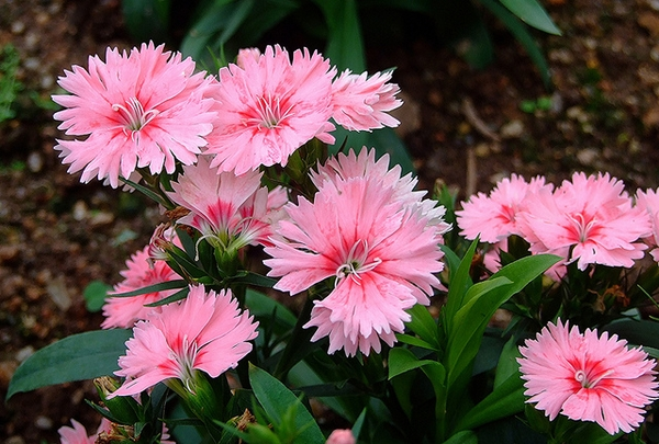 Dianthus-chinensis