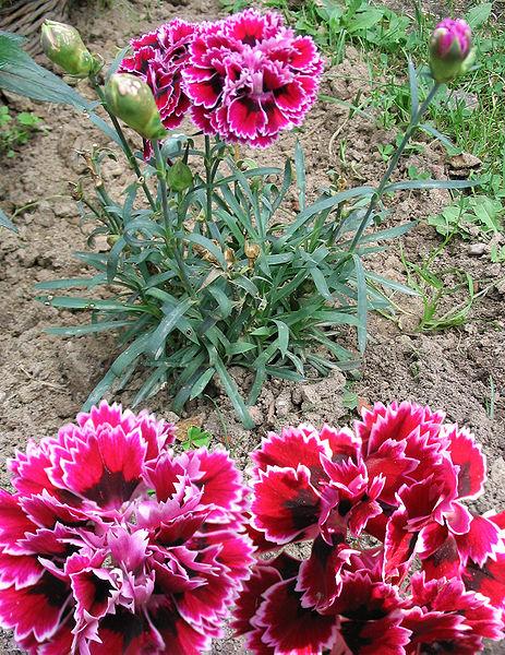Dianthus fimbriatus