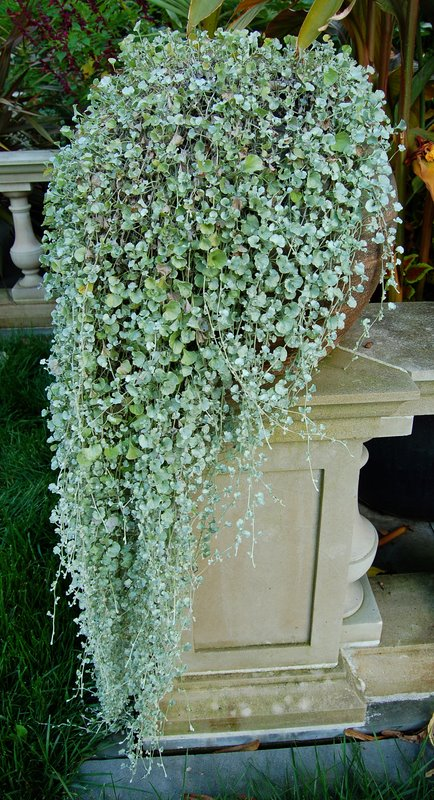 Dichondra repens1