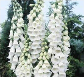 Digitalis-Purpurea-Alba