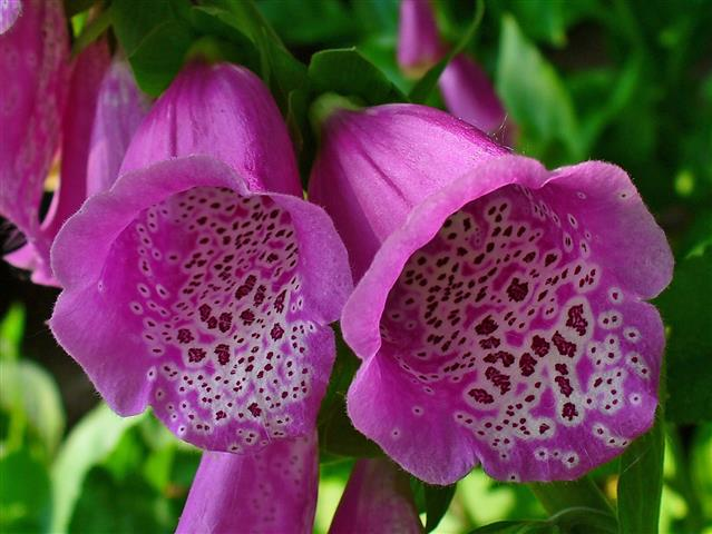 Digitalis_purpurea_003