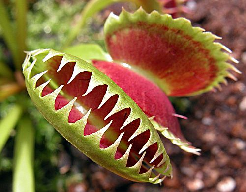 Dionaea_muscipula_planta-carnivora