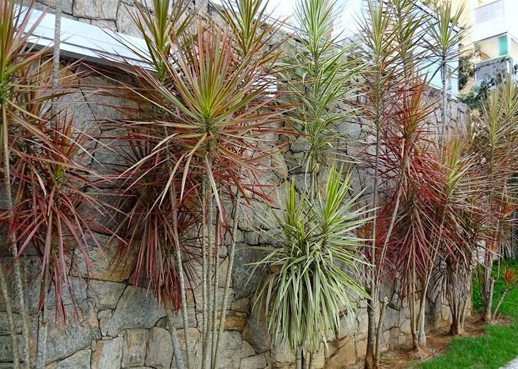 Dracena-de-Madagascar