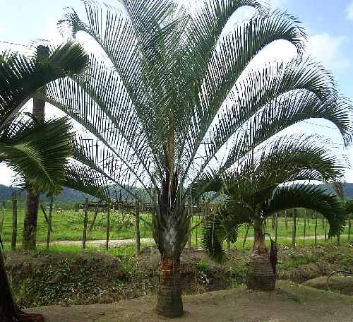 Dypsis decary