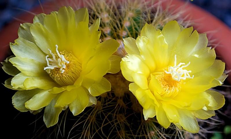 Echinocactus Grusoniiflor