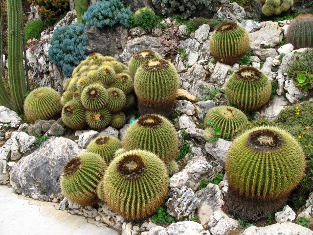 Echinocactus_grusonii_jardim