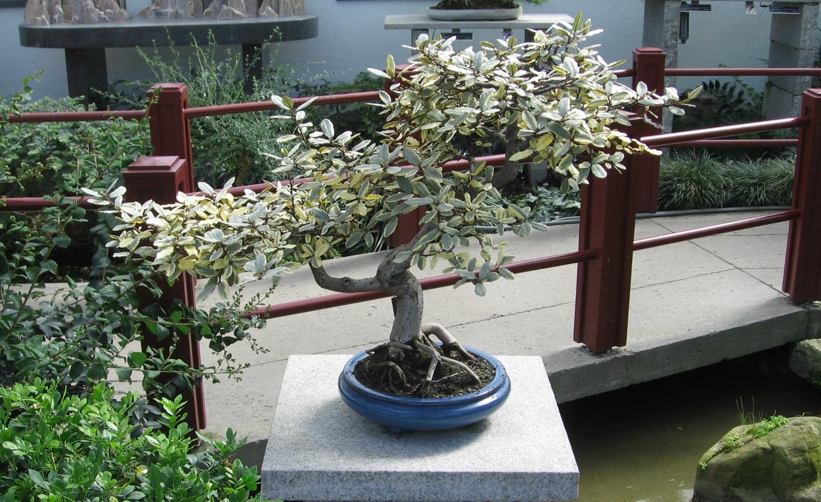 Elaeagnus_pungens_bonsai