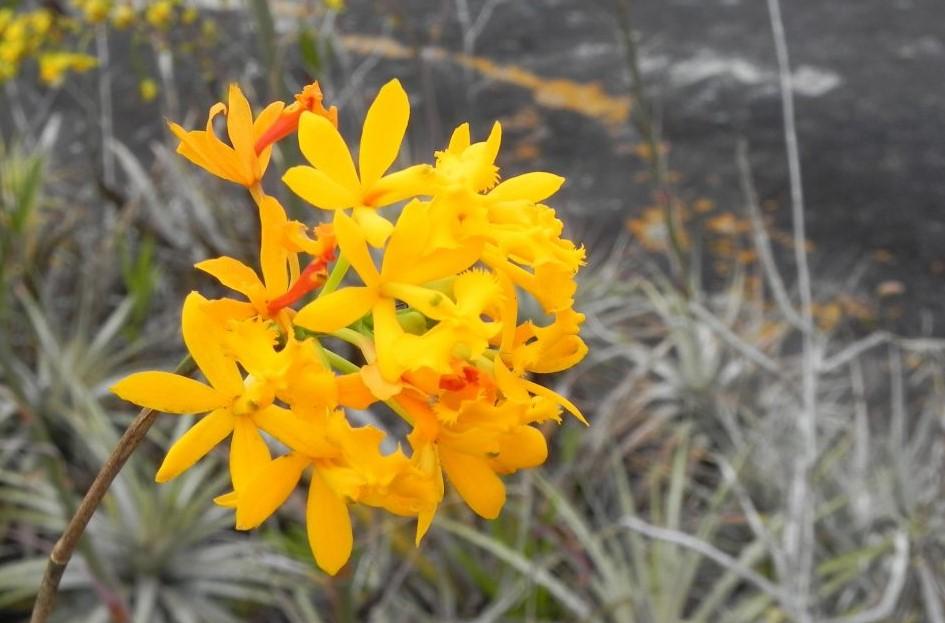 Epidendrum-amarelo-9521