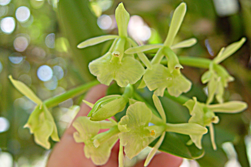 Epidendrum-latilabre