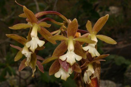 Epidendrum scalares