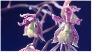 Epidendrum setiferum