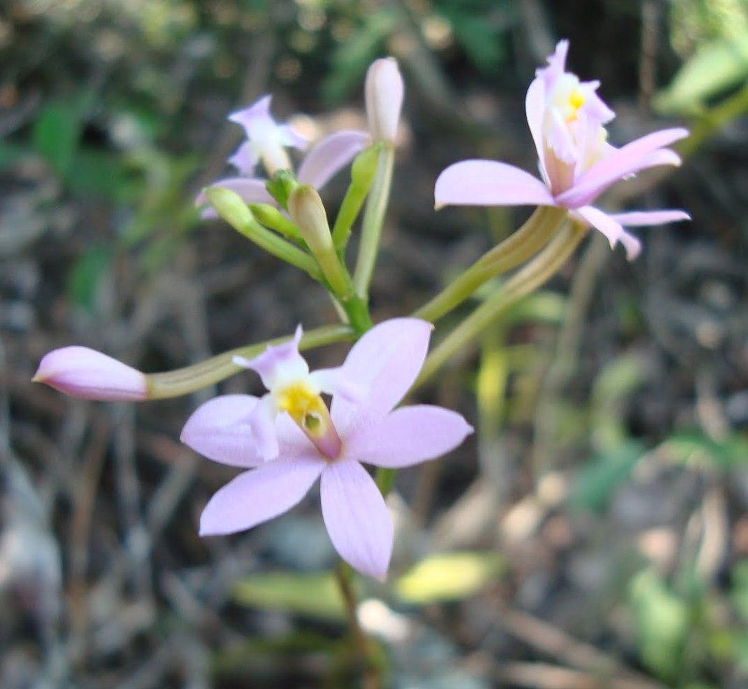 Epidendrum terrestre