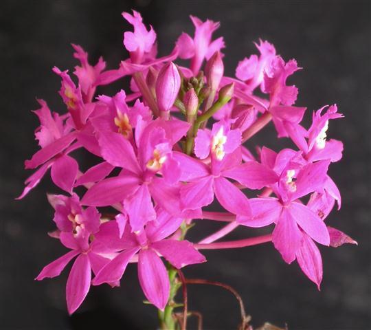 Epidendrum_denticulatum