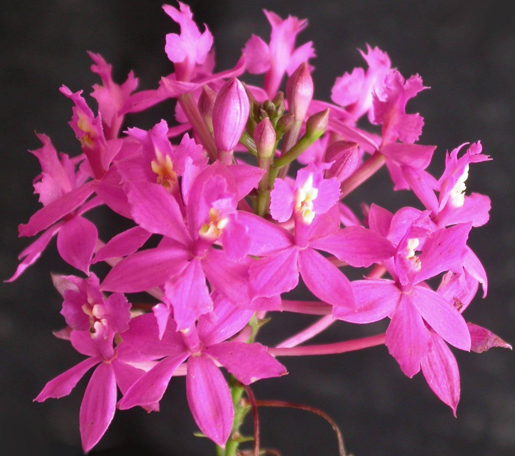 Epidendrum_denticulatum_