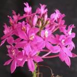 Epidendrum_denticulatum_inflorescence.