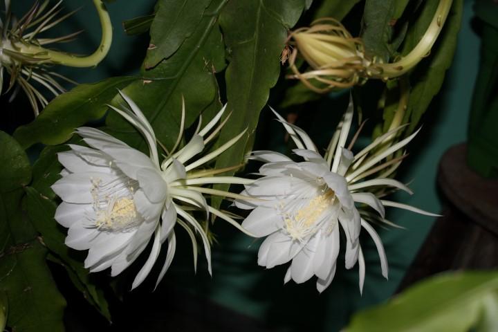 Epiphyllum Oxipetalum