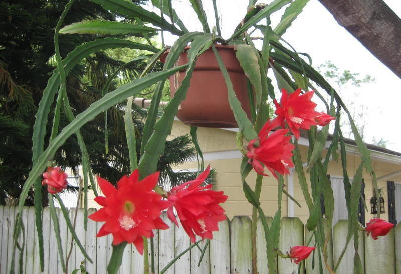 Epiphyllum ackermannii)1