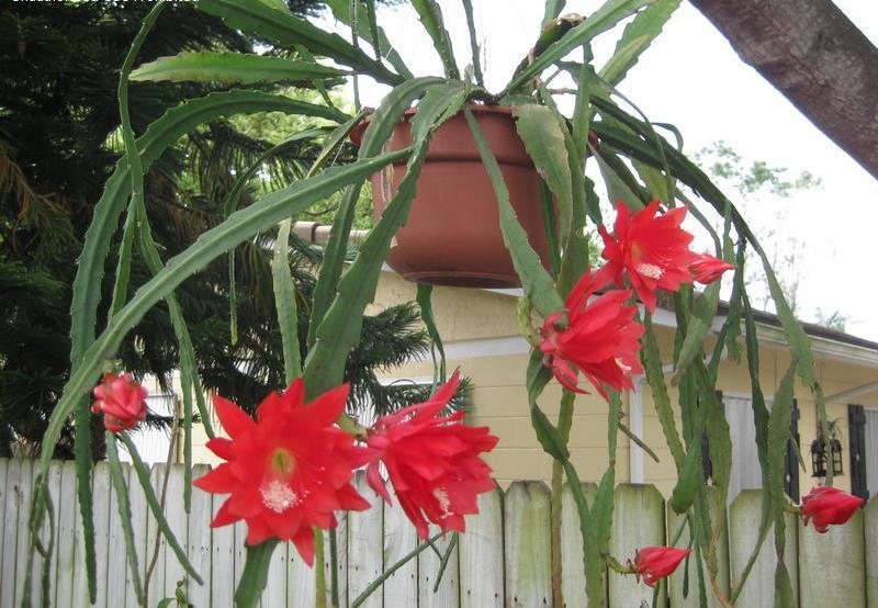 Epiphyllum ackermannii3