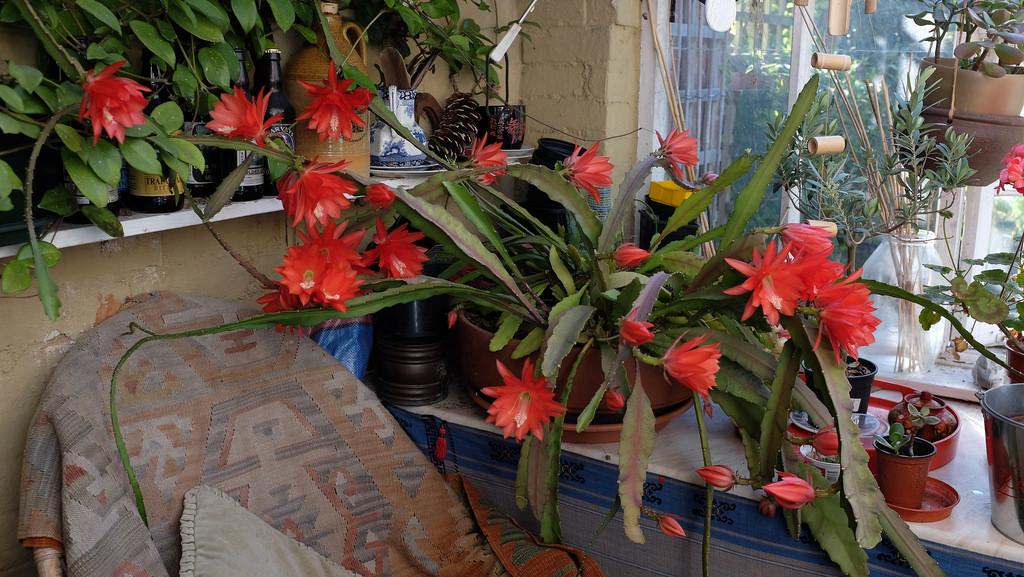 Epiphyllum ackermannii4