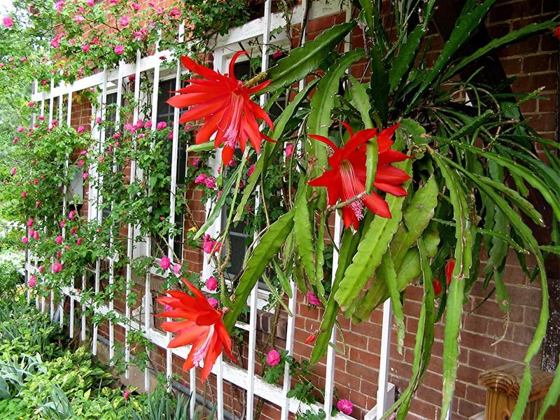 Epiphyllum ackermannii