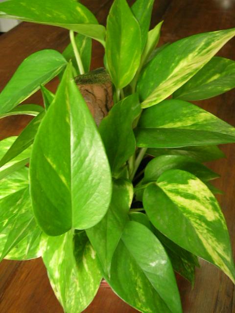 Epipremnum pinnatum 9
