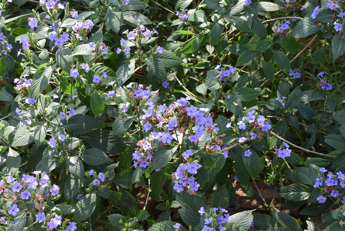 Eranthemum pulchellum-arbusto
