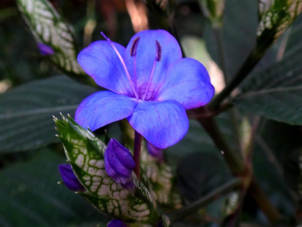 Eranthemum pulchellum_2
