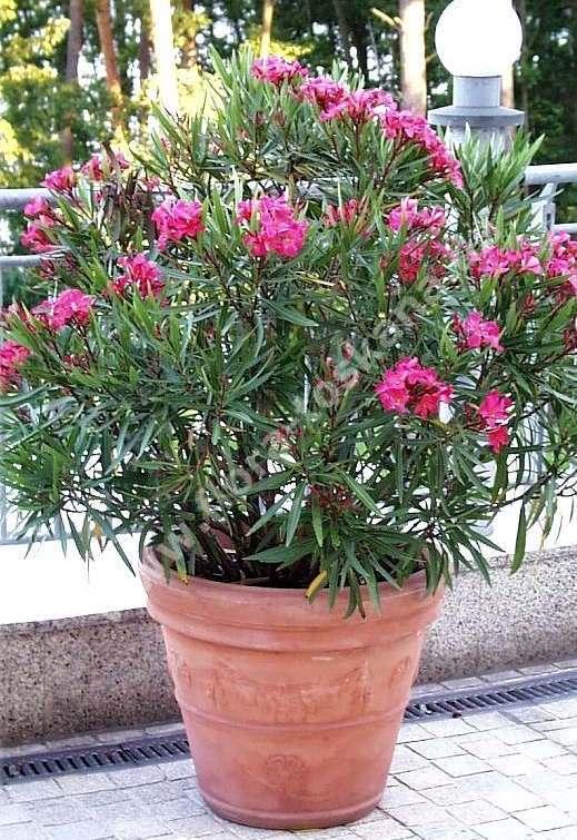 Espirradeira - Nerium oleander