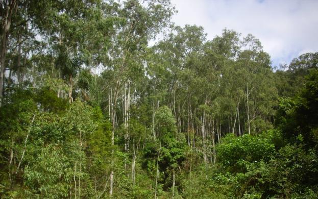 Eucalipto Citriodora (Eucalyptus citriodora)
