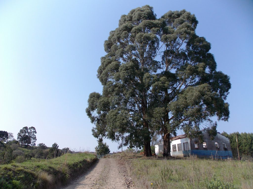 Eucalipto (Eucaliptus spp)