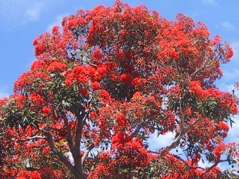 Eucalipto Vermelho