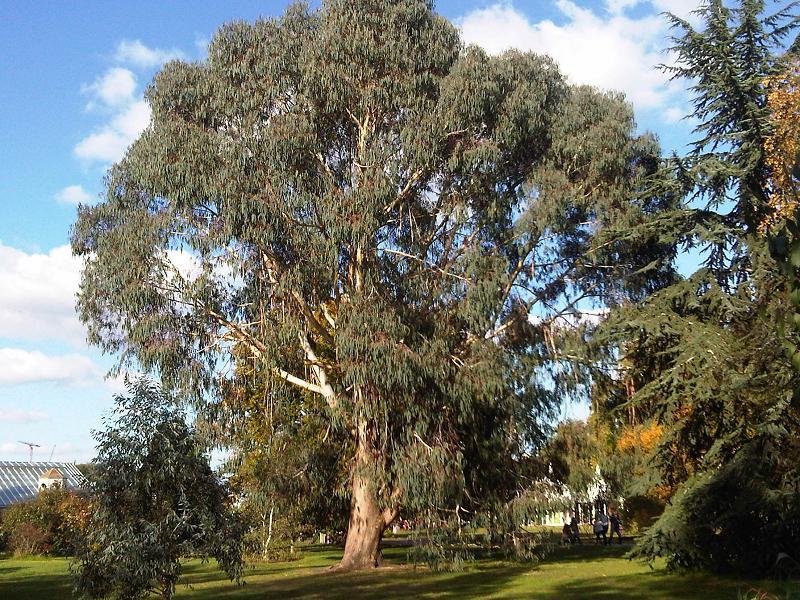 Eucaliptus spp