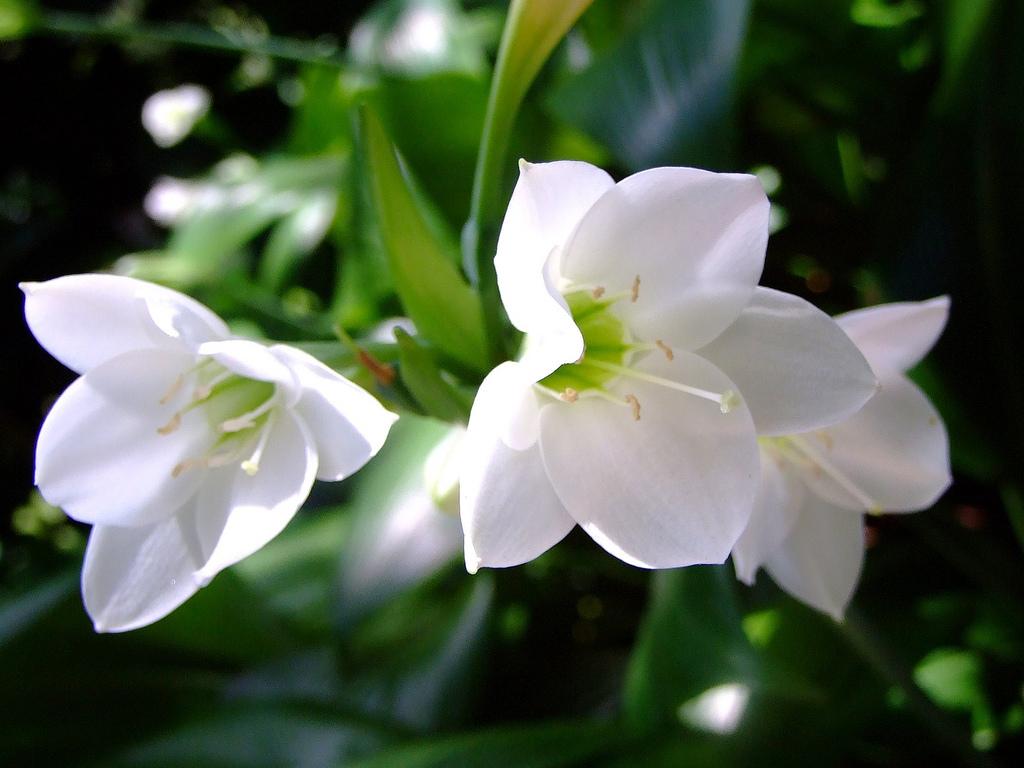 Eucharis Grandiflora1