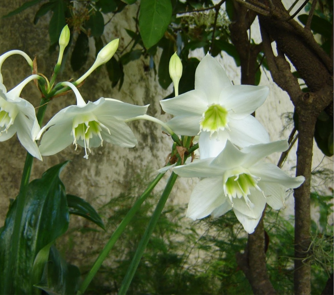 Eucharis Lirio