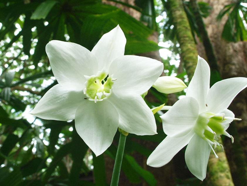 Eucharis-grandiflora_YY