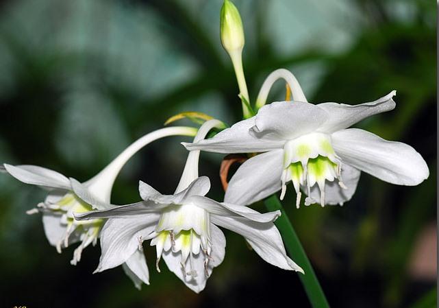 Eucharis.grandiflora-2