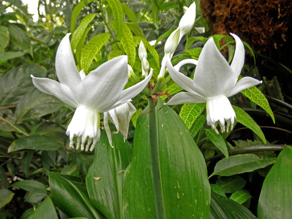 Eucharis Grandiflora2