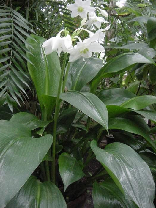 Eucharis_Grandiflora10