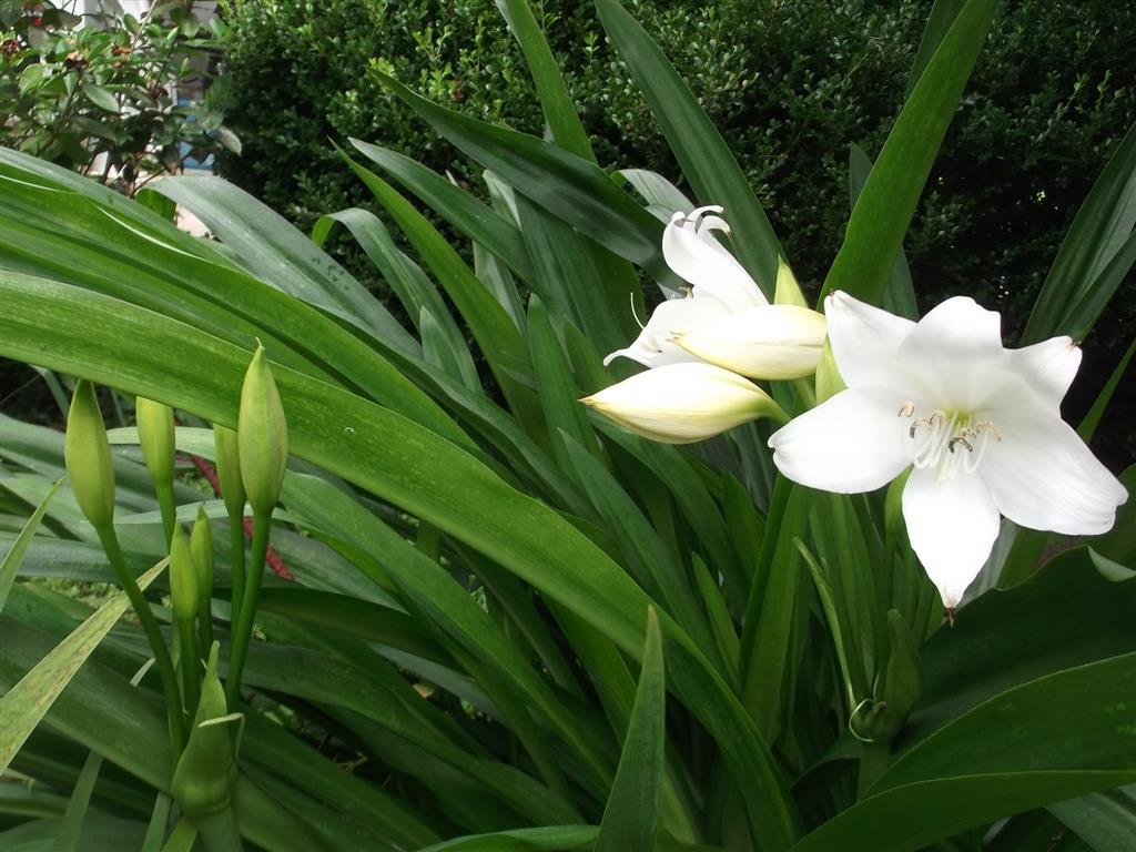 Eucharisgrandiflora