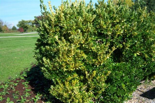 Euonymus-japonica-Aureus