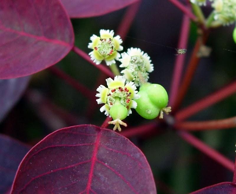 Euphorbia Cotinifolia 5