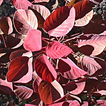 Euphorbia-cotinifolia