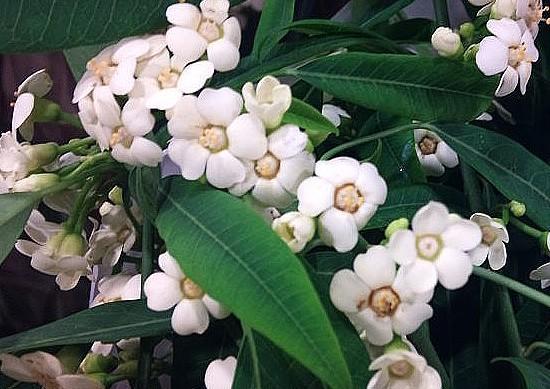 Euphorbia fulgens branca